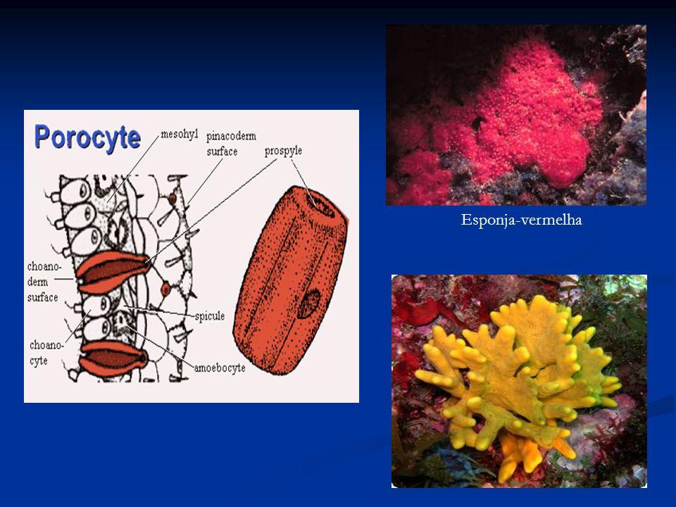 Endoesqueleto: espículas (estruturas de sustentação) de CaCO 3, sílica ou proteína espongina (esponjas-de-banho).