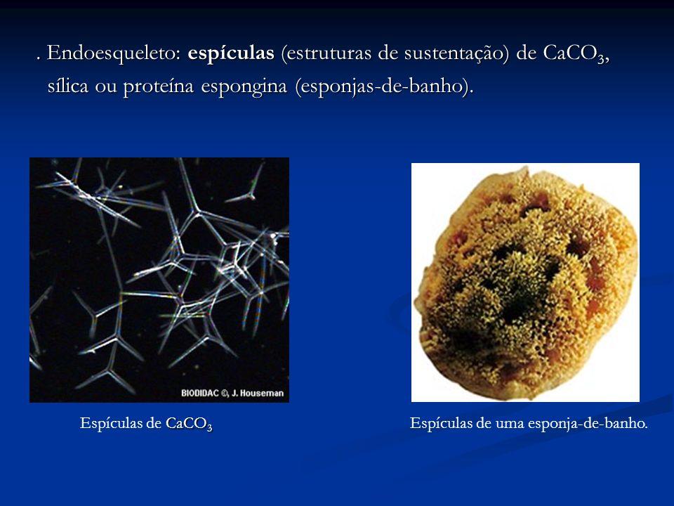 . Endoesqueleto: espículas (estruturas de sustentação) de CaCO 3, sílica ou proteína espongina (esponjas-de-banho). sílica ou proteína espongina (espo