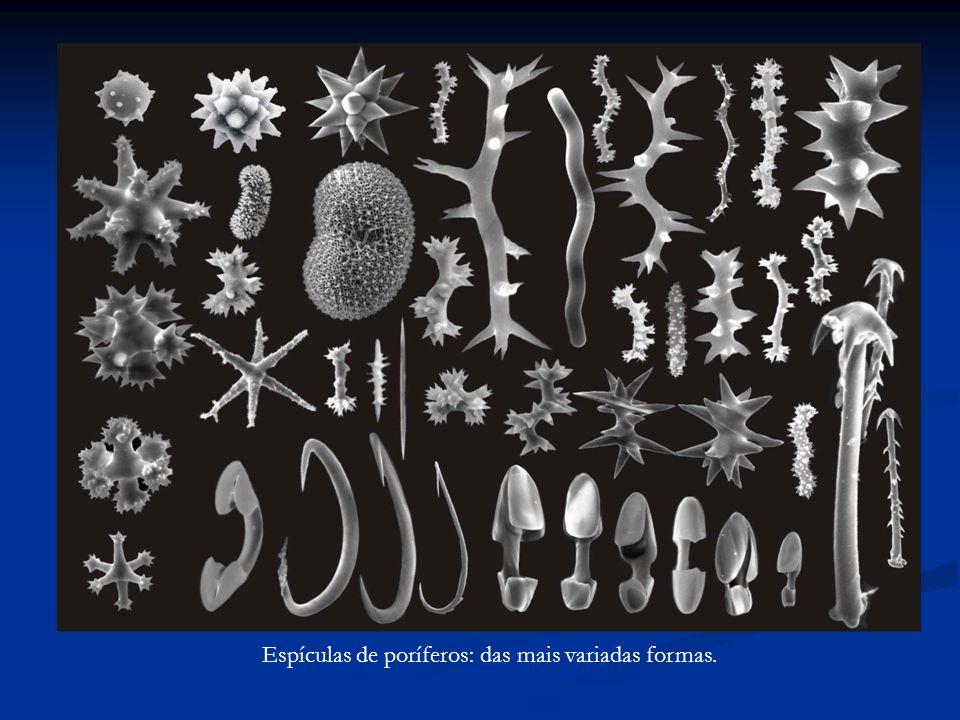 Espículas de poríferos: das mais variadas formas.