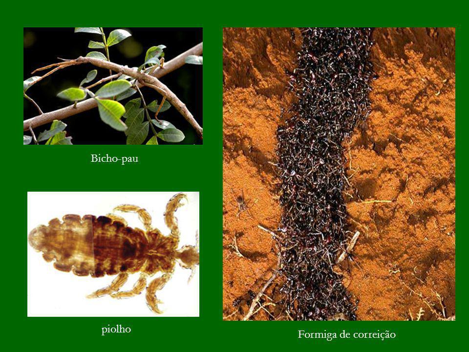 Bicho-pau piolho Formiga de correição