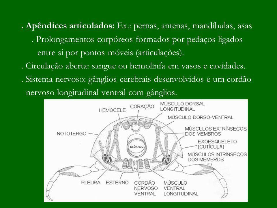 Sistema Circulatório:.Aberto – hemolinfa em vasos e lacunas ou cavidades.