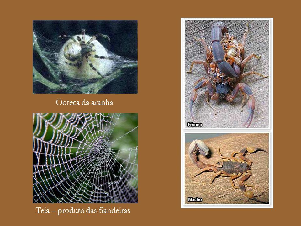Ooteca da aranha Teia – produto das fiandeiras