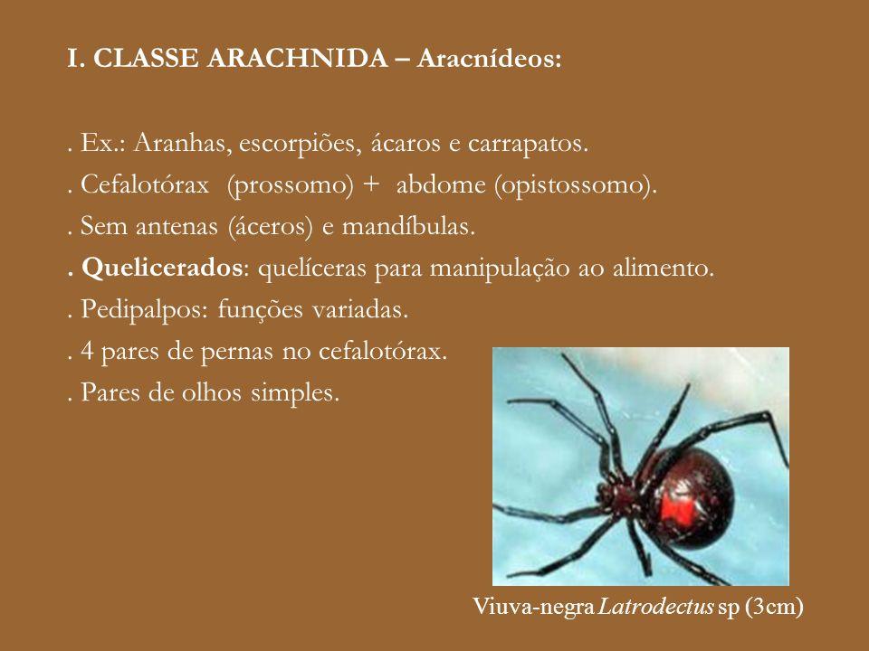 I. CLASSE ARACHNIDA – Aracnídeos:. Ex.: Aranhas, escorpiões, ácaros e carrapatos.. Cefalotórax (prossomo) + abdome (opistossomo).. Sem antenas (áceros