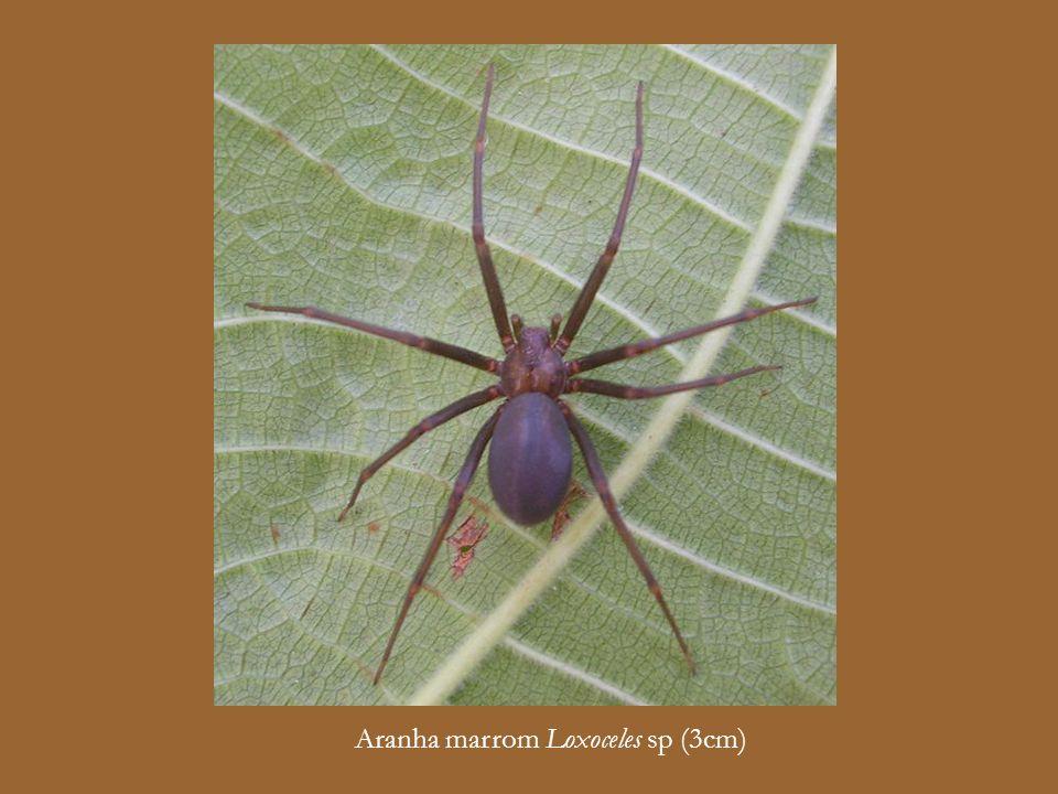 Aranha de grama Lycosa sp