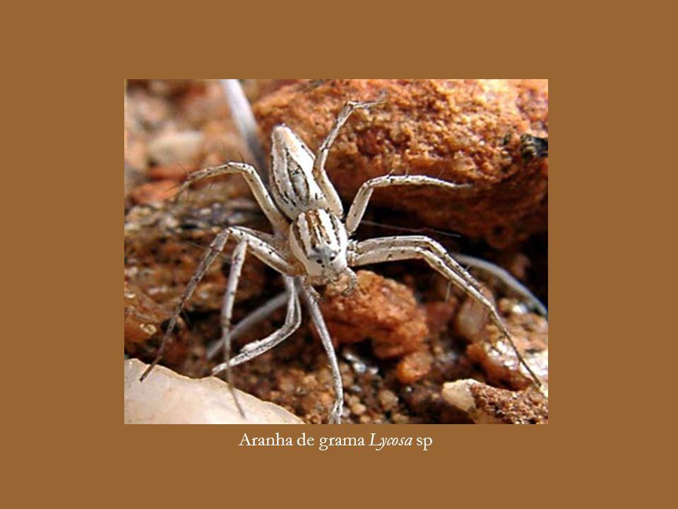 Aranha armadeira Phoneutria sp