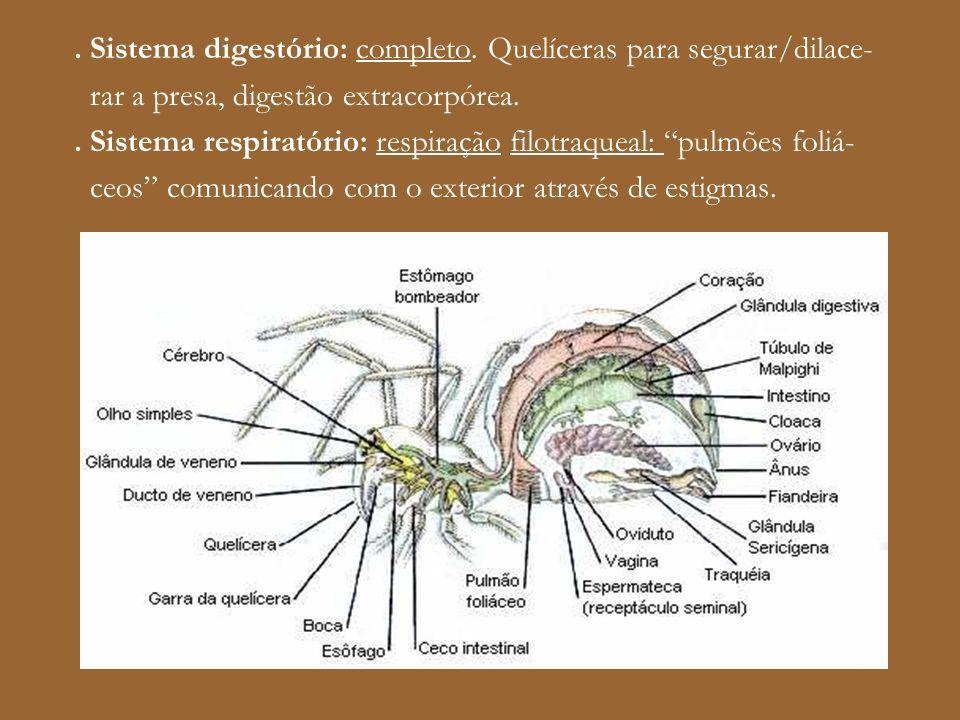 . Sistema digestório: completo. Quelíceras para segurar/dilace- rar a presa, digestão extracorpórea.. Sistema respiratório: respiração filotraqueal: p