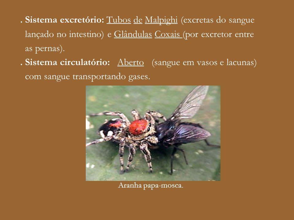 . Sistema excretório: Tubos de Malpighi (excretas do sangue lançado no intestino) e Glândulas Coxais (por excretor entre as pernas).. Sistema circulat