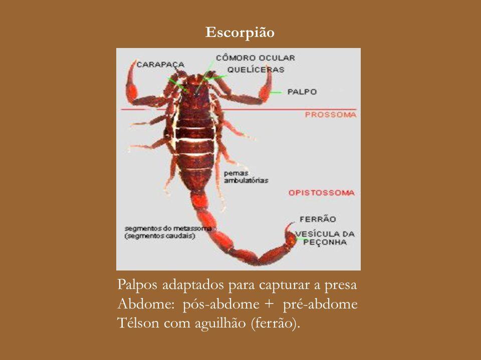 Escorpião Palpos adaptados para capturar a presa Abdome: pós-abdome + pré-abdome Télson com aguilhão (ferrão).