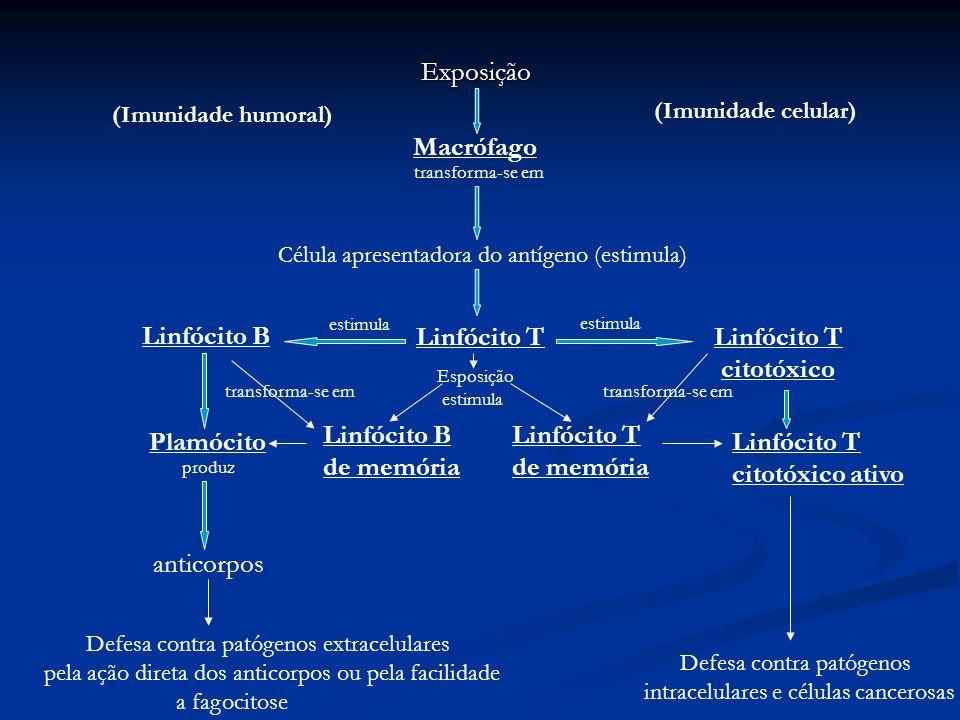 Exposição Macrófago Célula apresentadora do antígeno (estimula) Linfócito T estimula Linfócito T citotóxico Linfócito B Plamócito produz anticorpos Li