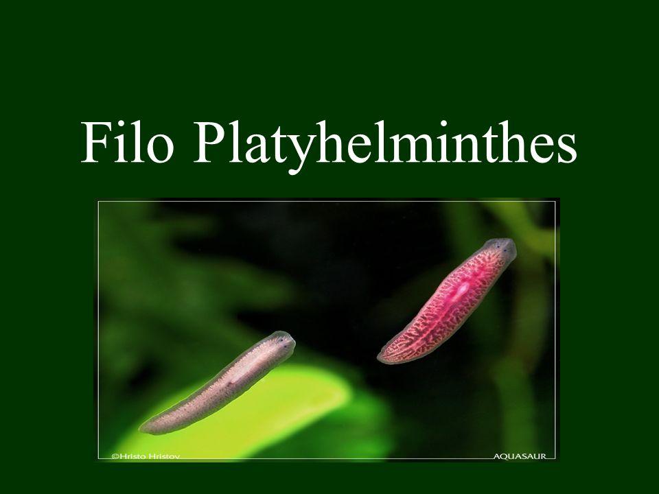 Ex.: Fascíola – Fasciola hepatica..Fasciolose (canais biliares humanos).