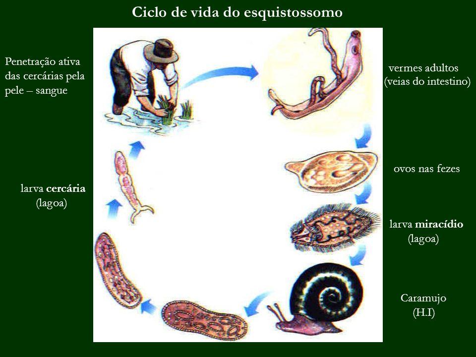 Ciclo de vida do esquistossomo vermes adultos ovos nas fezes larva miracídio (lagoa) Caramujo (H.I) larva cercária (lagoa) (veias do intestino) Penetr