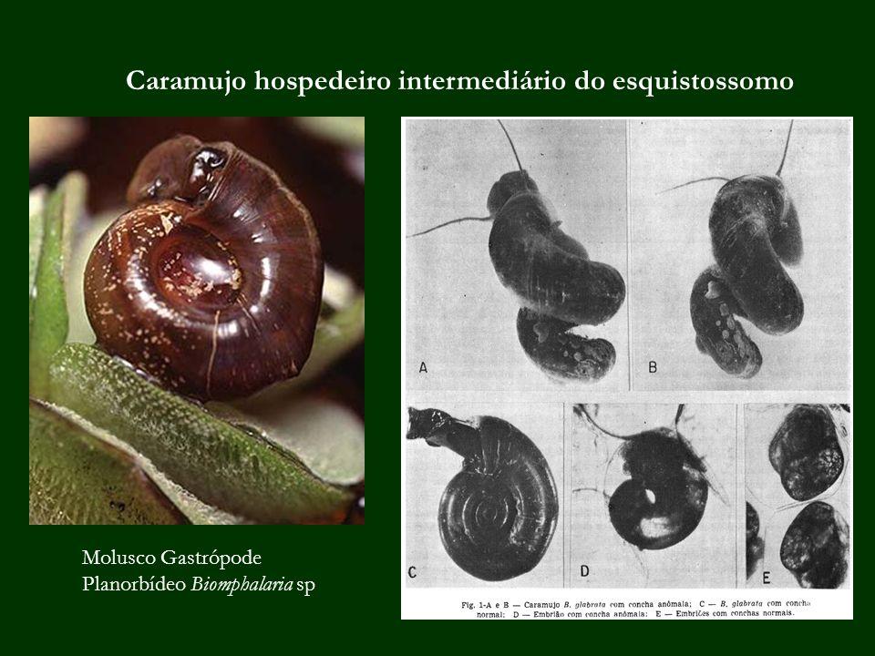 Caramujo hospedeiro intermediário do esquistossomo Molusco Gastrópode Planorbídeo Biomphalaria sp