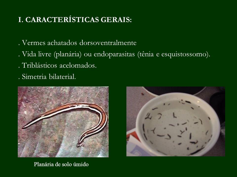 I. CARACTERÍSTICAS GERAIS:. Vermes achatados dorsoventralmente. Vida livre (planária) ou endoparasitas (tênia e esquistossomo).. Triblásticos acelomad