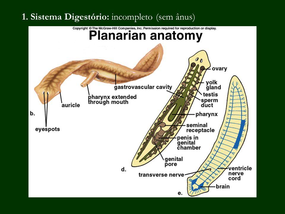 Planária: anatomia interna Sistema digestório incompleto Intestino ramificado