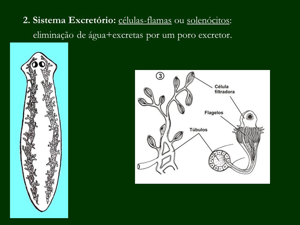 2. Sistema Excretório: células-flamas ou solenócitos: eliminação de água+excretas por um poro excretor.
