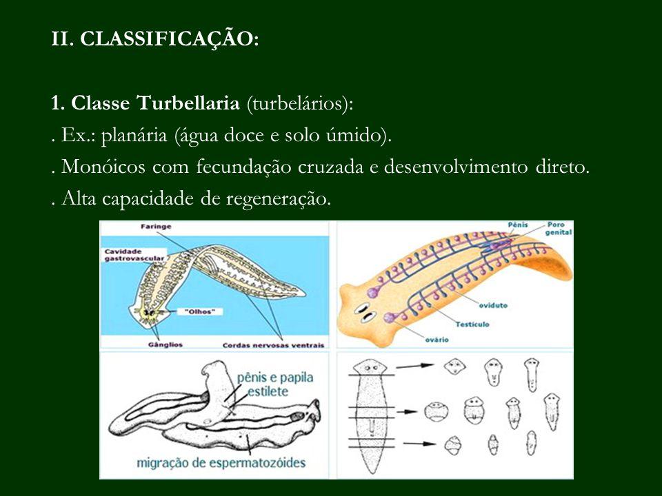 II. CLASSIFICAÇÃO: 1. Classe Turbellaria (turbelários):. Ex.: planária (água doce e solo úmido).. Monóicos com fecundação cruzada e desenvolvimento di