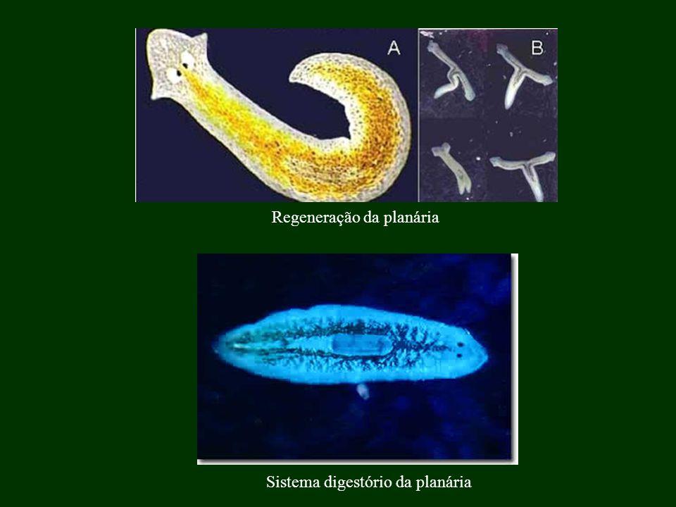 2.Classe Trematoda (trematódeos):. Ex.: Esquistossomo (Schistossoma mansoni)..