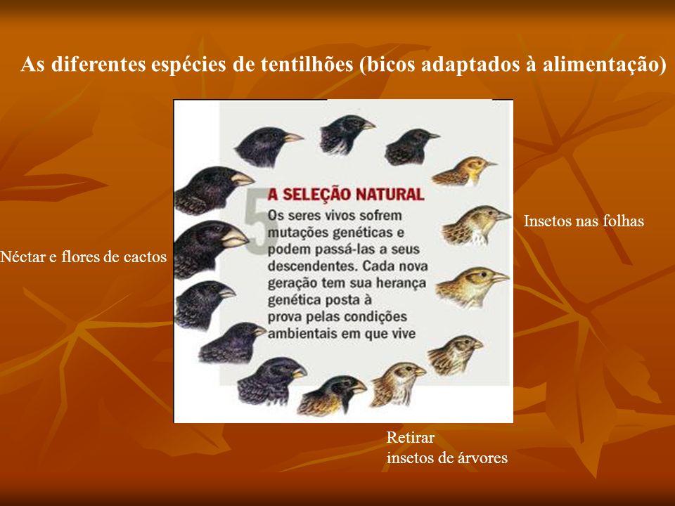 As diferentes espécies de tentilhões (bicos adaptados à alimentação) Néctar e flores de cactos Retirar insetos de árvores Insetos nas folhas