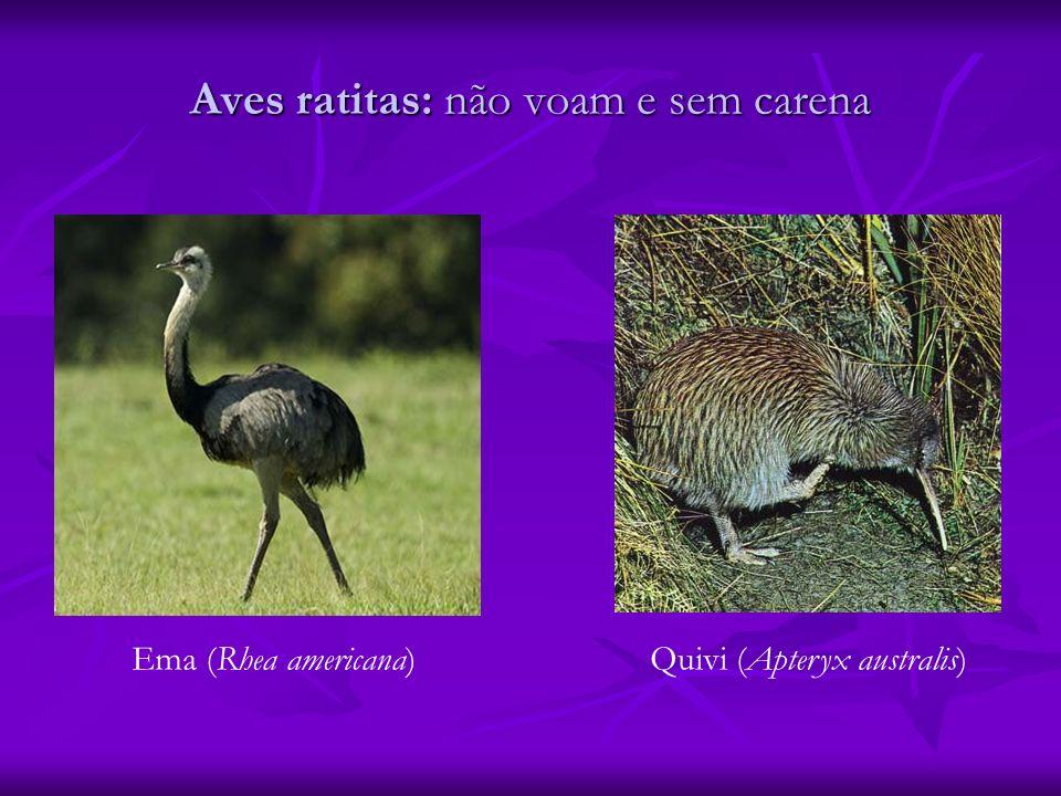 Aves ratitas: não voam e sem carena Ema (Rhea americana)Quivi (Apteryx australis)