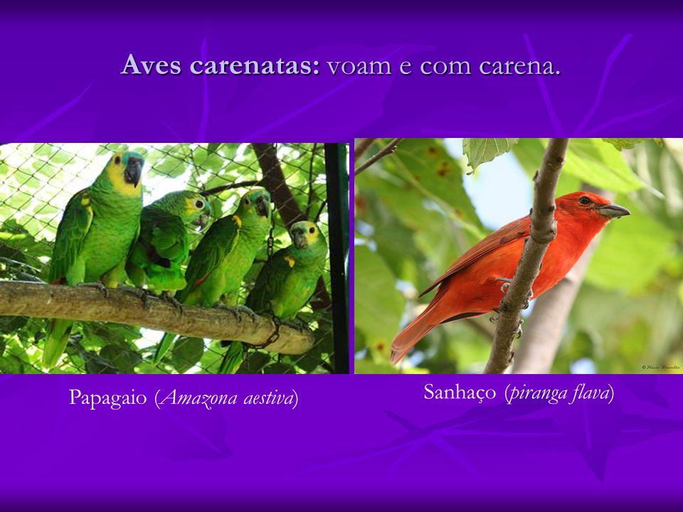 Aves carenatas: voam e com carena. Papagaio (Amazona aestiva) Sanhaço (piranga flava)