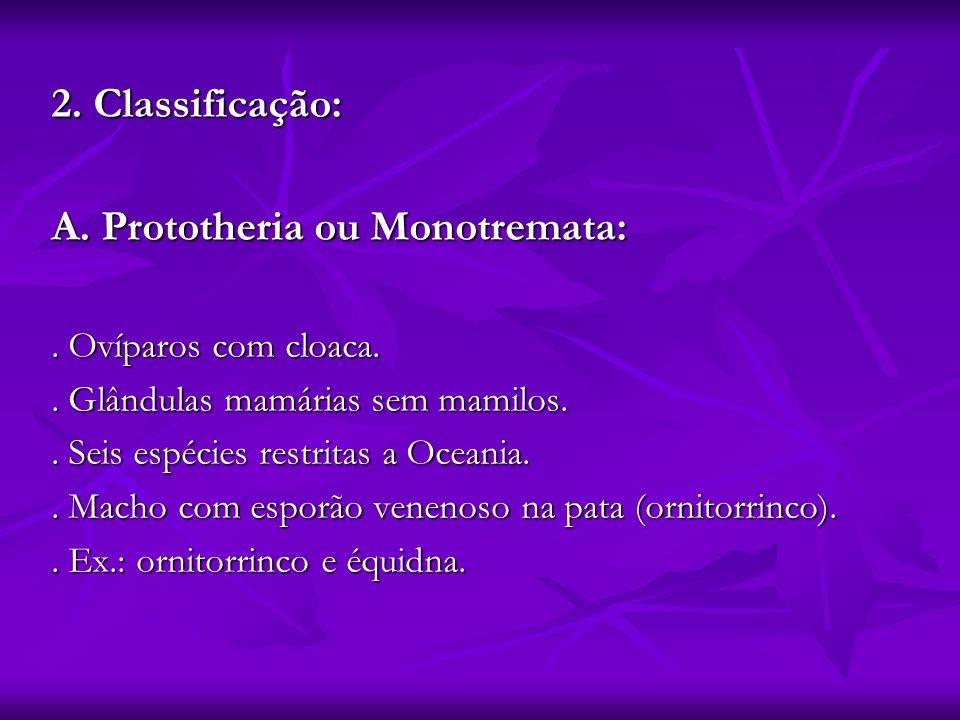 2. Classificação: A. Prototheria ou Monotremata:. Ovíparos com cloaca.. Glândulas mamárias sem mamilos.. Seis espécies restritas a Oceania.. Macho com