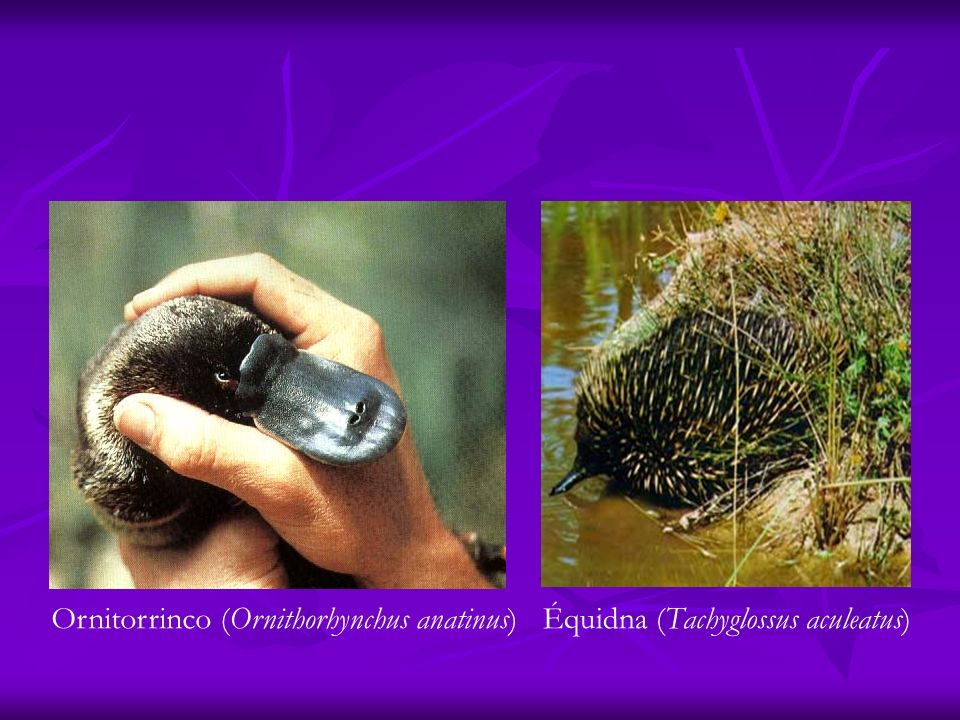 Ornitorrinco (Ornithorhynchus anatinus)Équidna (Tachyglossus aculeatus)