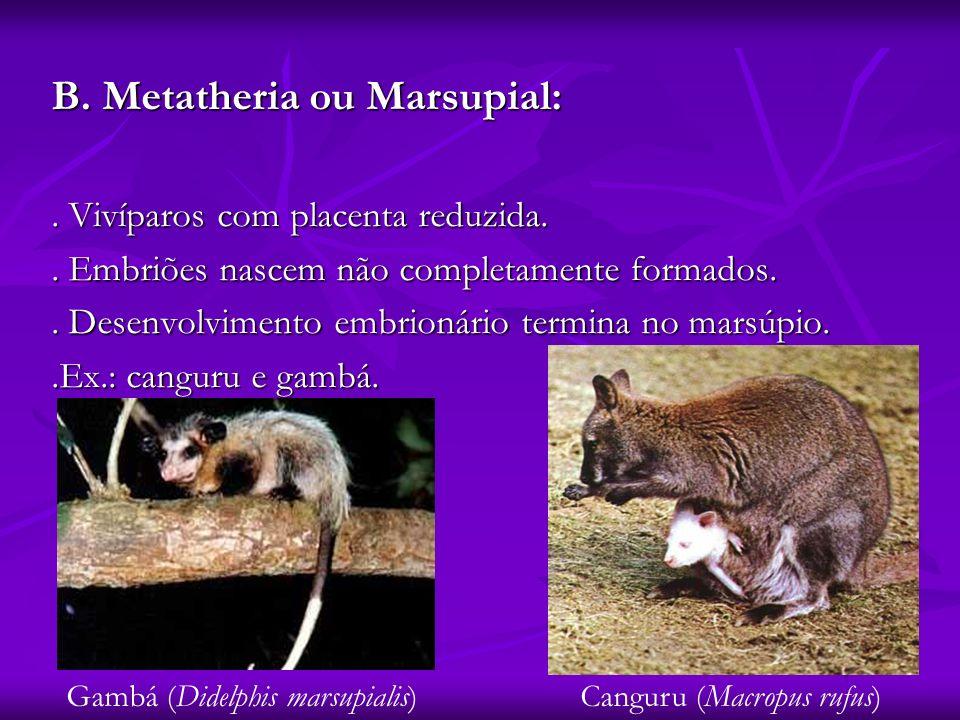B. Metatheria ou Marsupial:. Vivíparos com placenta reduzida.. Embriões nascem não completamente formados.. Desenvolvimento embrionário termina no mar