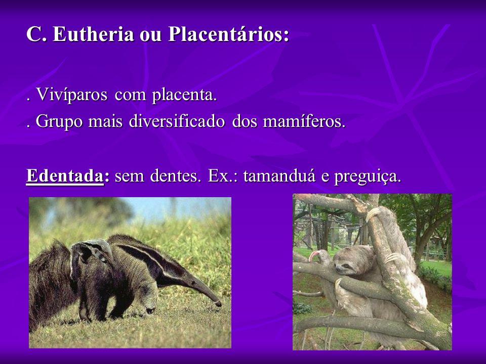 C. Eutheria ou Placentários:. Vivíparos com placenta.. Grupo mais diversificado dos mamíferos. Edentada: sem dentes. Ex.: tamanduá e preguiça.
