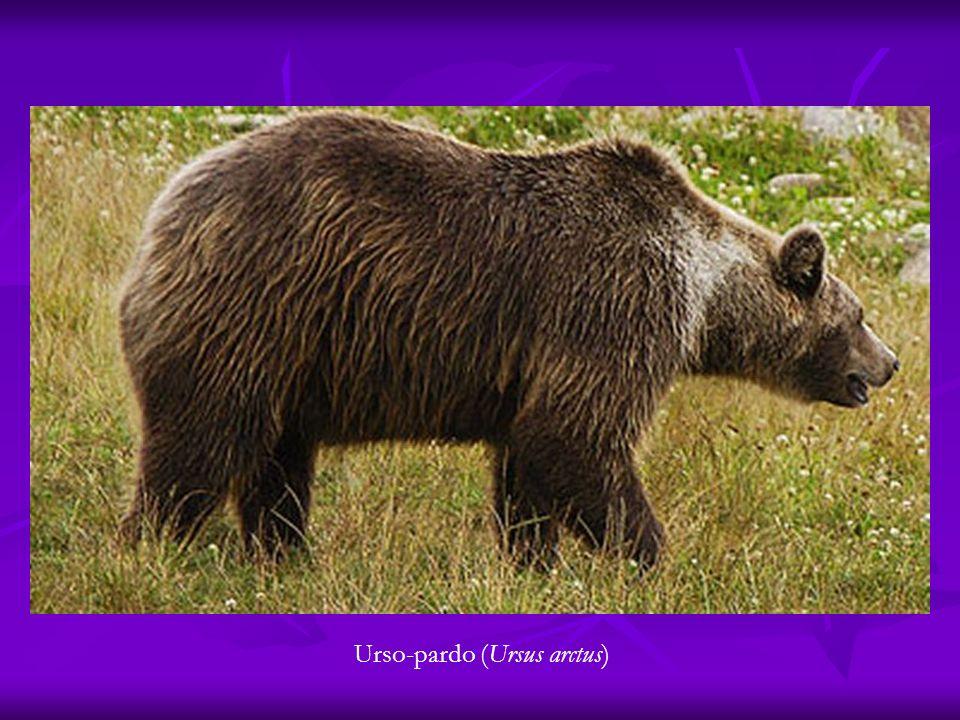 Urso-pardo (Ursus arctus)