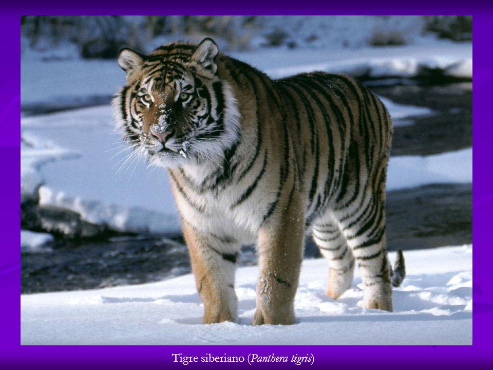 Tigre siberiano (Panthera tigris)