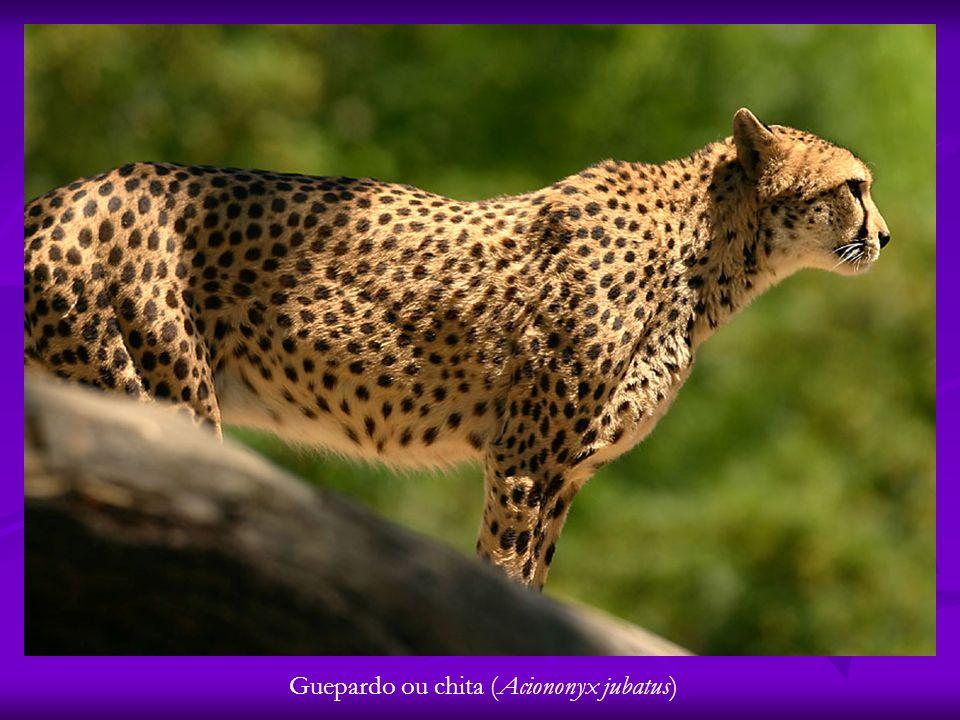 Guepardo ou chita (Aciononyx jubatus)