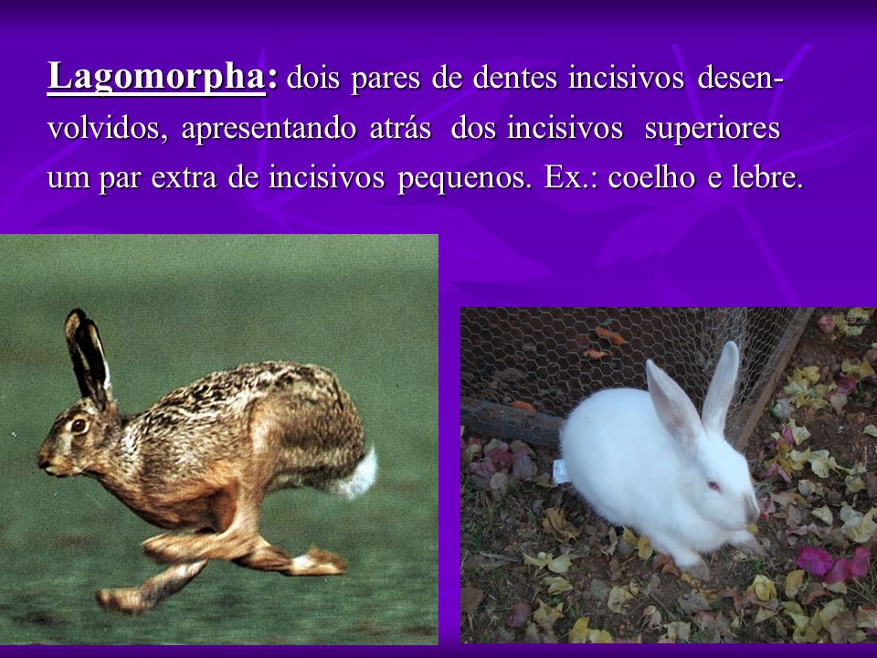 Lagomorpha: dois pares de dentes incisivos desen- volvidos, apresentando atrás dos incisivos superiores um par extra de incisivos pequenos. Ex.: coelh