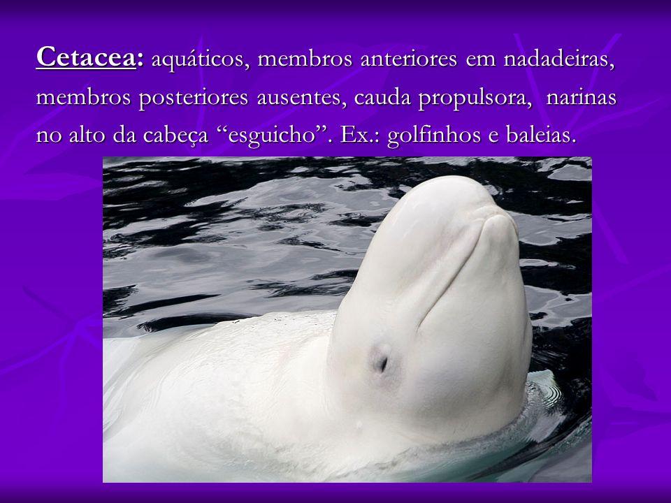 Cetacea: aquáticos, membros anteriores em nadadeiras, membros posteriores ausentes, cauda propulsora, narinas no alto da cabeça esguicho. Ex.: golfinh
