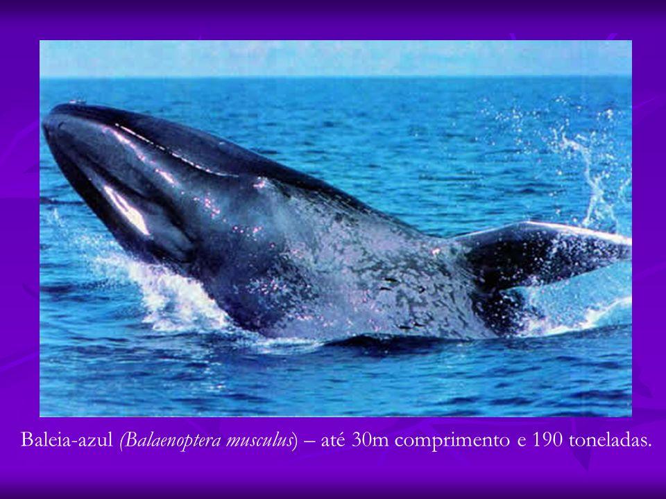 Baleia-azul (Balaenoptera musculus) – até 30m comprimento e 190 toneladas.