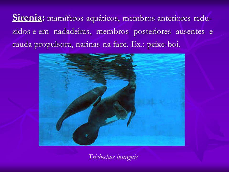 Sirenia: mamíferos aquáticos, membros anteriores redu- zidos e em nadadeiras, membros posteriores ausentes e cauda propulsora, narinas na face. Ex.: p