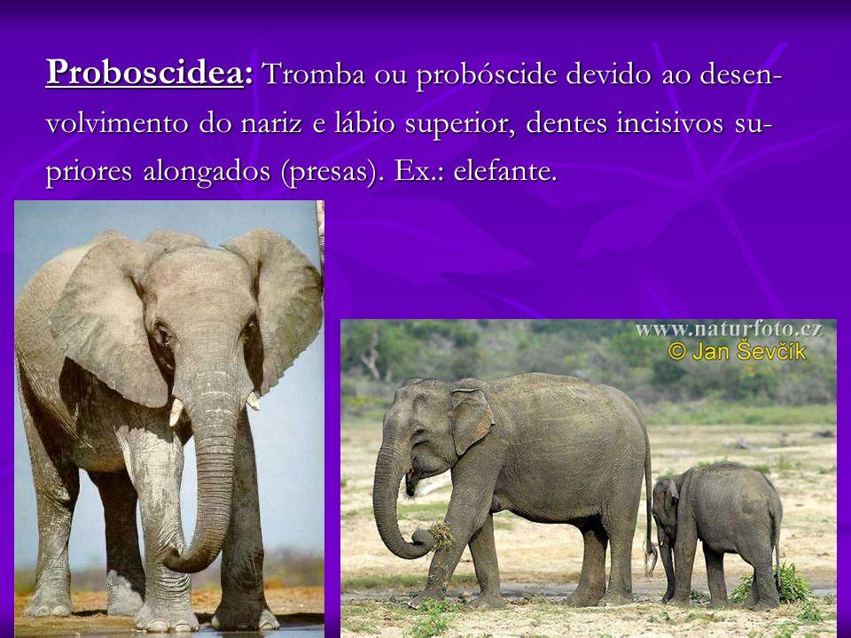 Proboscidea: Tromba ou probóscide devido ao desen- volvimento do nariz e lábio superior, dentes incisivos su- priores alongados (presas). Ex.: elefant