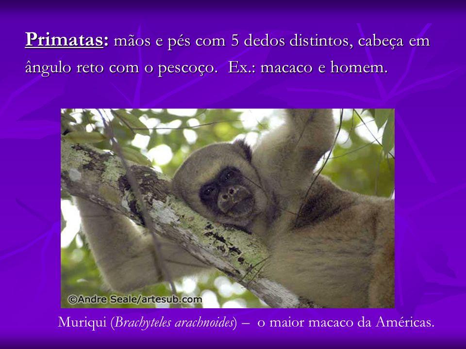 Primatas: mãos e pés com 5 dedos distintos, cabeça em ângulo reto com o pescoço. Ex.: macaco e homem. Muriqui (Brachyteles arachnoides) – o maior maca
