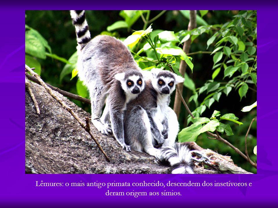 Lêmures: o mais antigo primata conhecido, descendem dos insetívoros e deram origem aos símios.