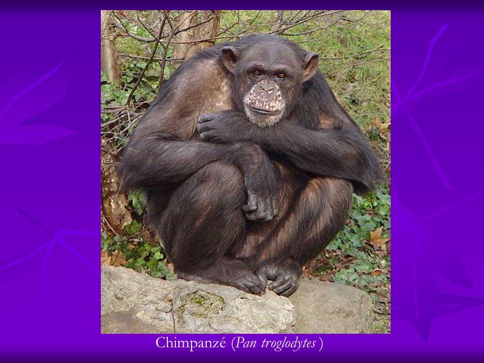 Chimpanzé (Pan troglodytes )