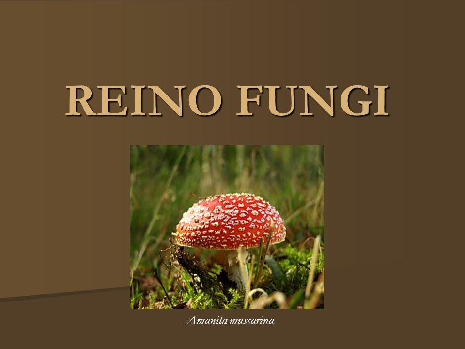 REINO FUNGI Amanita muscarina
