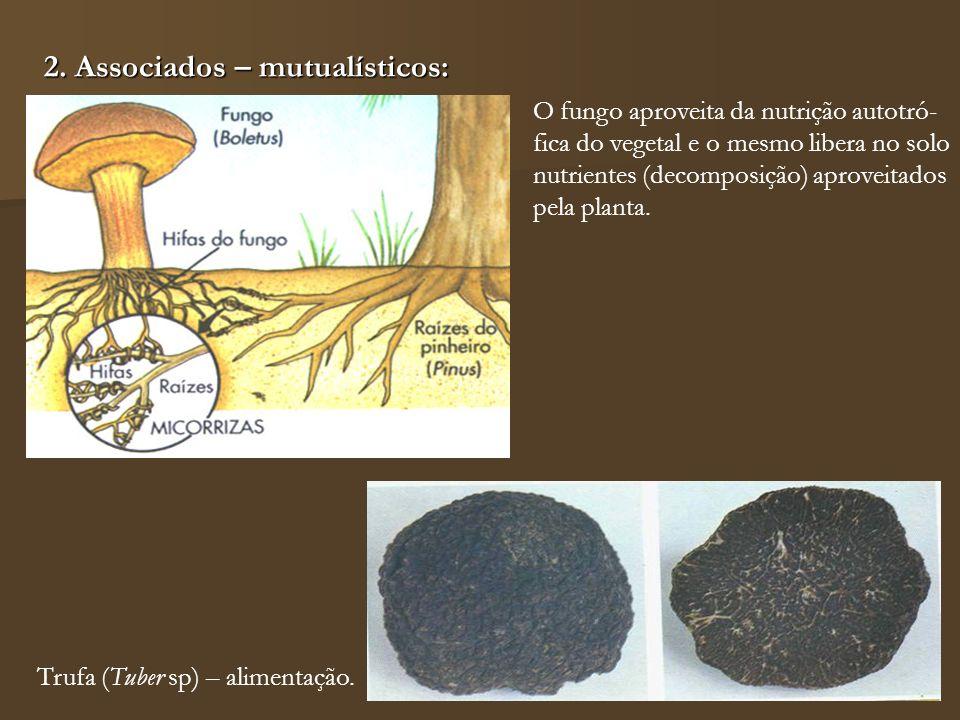 2. Associados – mutualísticos: Trufa (Tuber sp) – alimentação. O fungo aproveita da nutrição autotró- fica do vegetal e o mesmo libera no solo nutrien