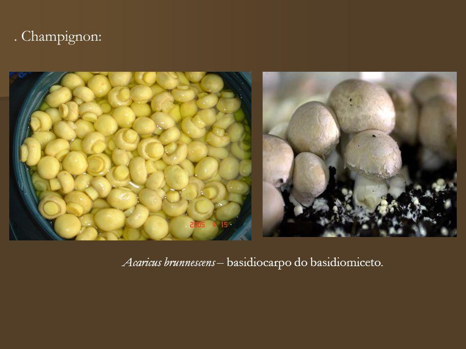 Acaricus brunnescens – basidiocarpo do basidiomiceto.. Champignon: