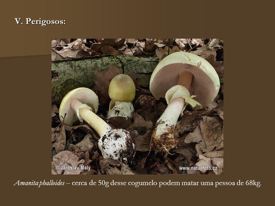 V. Perigosos: Amanita phalloides – cerca de 50g desse cogumelo podem matar uma pessoa de 68kg.