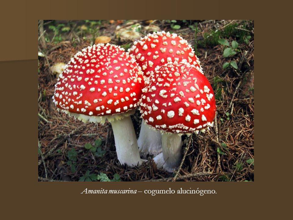 Amanita muscarina – cogumelo alucinógeno.