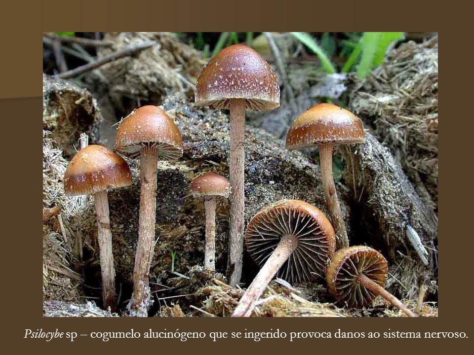 Psilocybe sp – cogumelo alucinógeno que se ingerido provoca danos ao sistema nervoso.