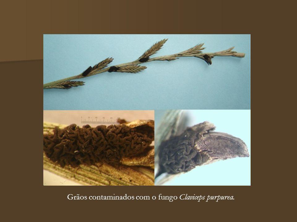 Grãos contaminados com o fungo Claviceps purpurea.