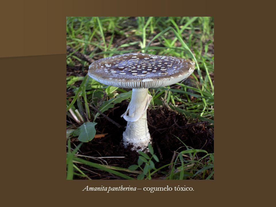 Amanita pantherina – cogumelo tóxico.