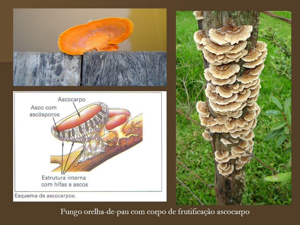 Fungo orelha-de-pau com corpo de frutificação ascocarpo