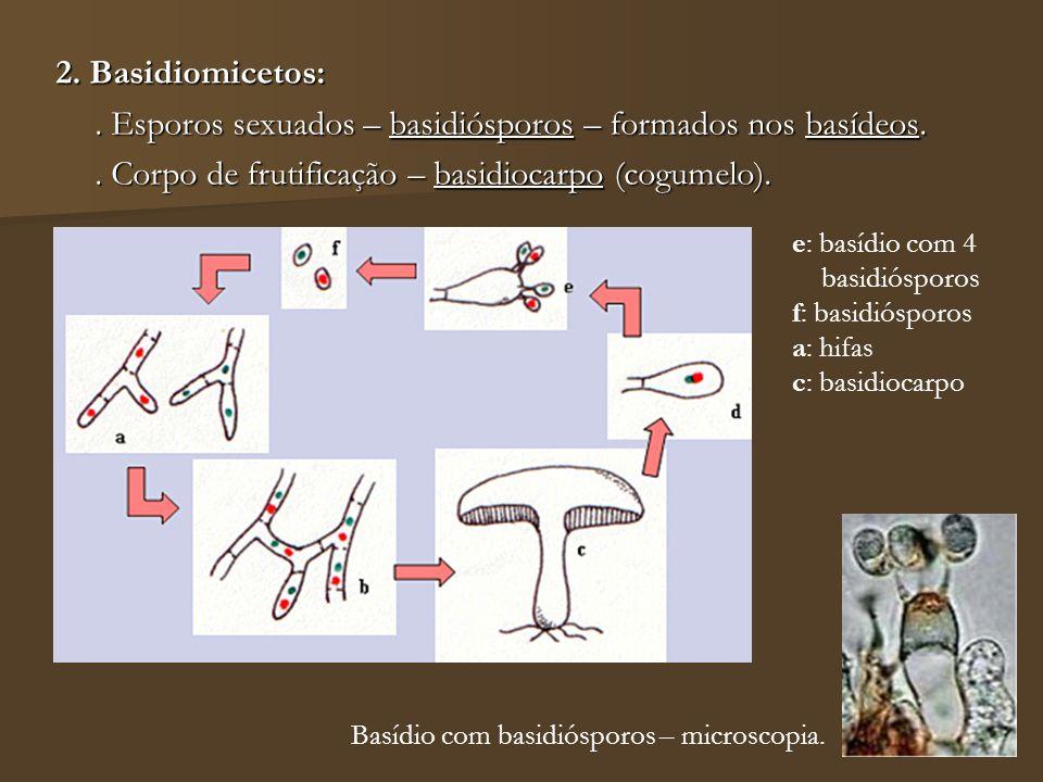 2. Basidiomicetos:. Esporos sexuados – basidiósporos – formados nos basídeos.. Corpo de frutificação – basidiocarpo (cogumelo). e: basídio com 4 basid