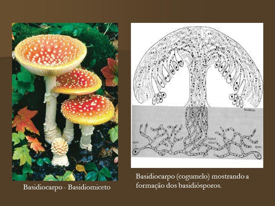 Basidiocarpo - Basidiomiceto Basidiocarpo (cogumelo) mostrando a formação dos basidiósporos.